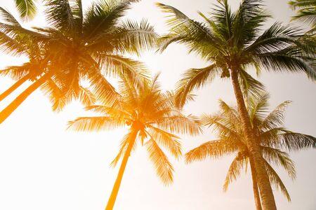 Albero di cocco verde separato chiaramente sullo sfondo del cielo in Gardent. Per progettare circa la mattina dopo l'alba, guarda gli splendidi alberi disposti in ordine