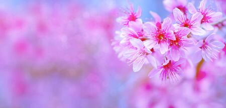 Pink cherry blossoms are beautiful.Sakura is a summer flower. Is a flower in Japan Have a lovely pink color. copy space pink background.