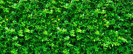 Green leaves nature background  or the nature wall texture Ideal for use in the design.