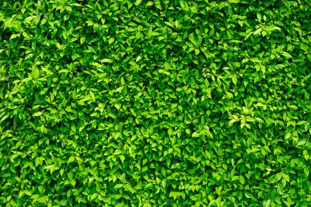 Green leaves background  or the naturally walls texture Ideal for use in the design fairly.