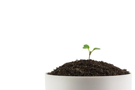 curare teneramente: Alberello di un albero su uno sfondo bianco. Archivio Fotografico