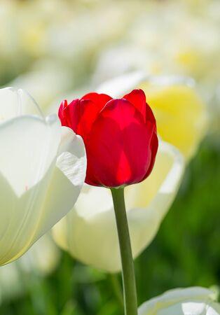 standout: Tulip. Beautiful bouquet of tulips. colorful tulips. tulips in spring,colourful tulip