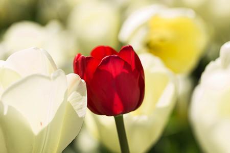 alone in crowd: Tulip. Beautiful bouquet of tulips. colorful tulips. tulips in spring,colourful tulip