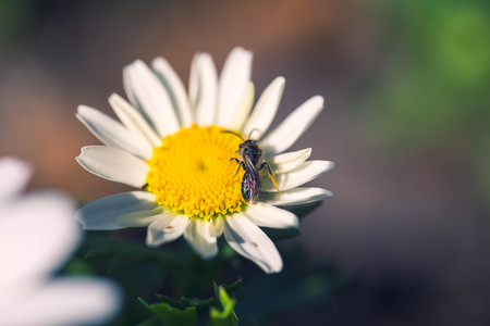 margarite: Spring single daisy flower and small bee