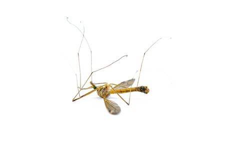 mosquitos: Anopheles mosquito, dangerous vehicle of infection,isolated on white
