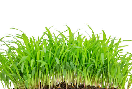 wheat grass: wheat grass isolated on white background