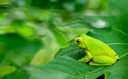 gaudy: eyed tree frog or gaudy leaf frog or Agalychnis callidryas a arboreal hylid native to tropical rainforests in Central America in panama and costa rica . Mistakenly also called the Green Tree Frog Stock Photo