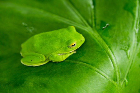 agalychnis: eyed tree frog or gaudy leaf frog or Agalychnis callidryas a arboreal hylid native to tropical rainforests in Central America in panama and costa rica . Mistakenly also called the Green Tree Frog Stock Photo