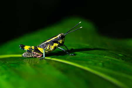 fruition: Grasshopper perching on a leaf green Stock Photo