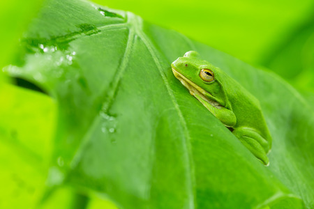 eyed tree frog or gaudy leaf frog or Agalychnis callidryas a arboreal hylid native to tropical rainforests in Central America in panama and costa rica . Mistakenly also called the Green Tree Frog Stock Photo