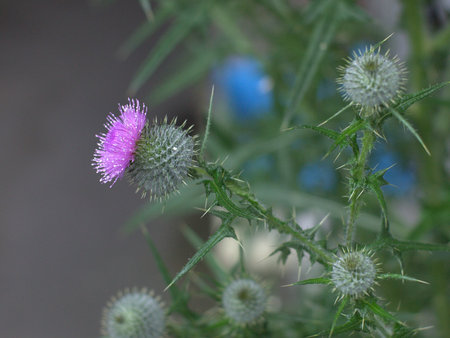 enclosing: Thistle flowers