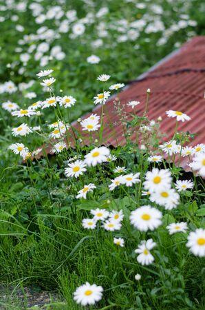 tin: Rusty Tin with white flowers Stock Photo
