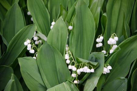sustancias toxicas: flor blanca del lirio de los valles Foto de archivo