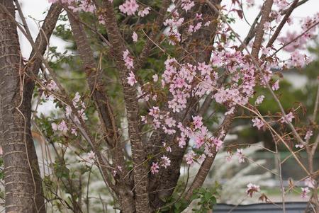 twig: Cherry tree twig Stock Photo