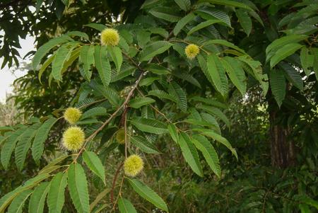castaÑas: Chestnuts