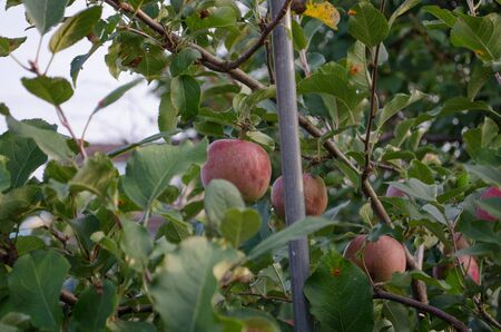 Branch Apples