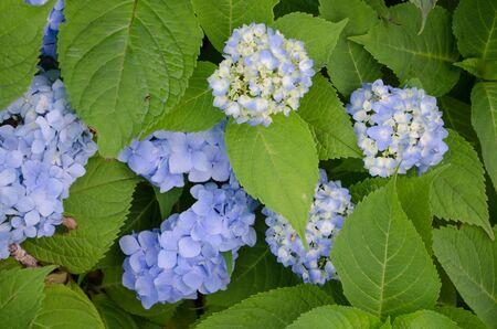 Seasonal hydrangea flowers