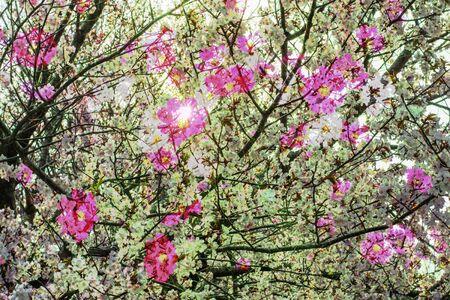 Cherry Blossoms and Cosmos Фото со стока