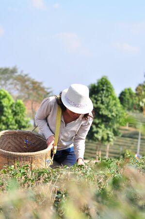 cobrar: Mujeres Recoger las hojas de t� Foto de archivo