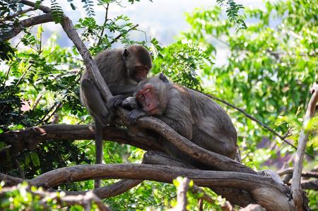 slumbering: Sleeping Monkey
