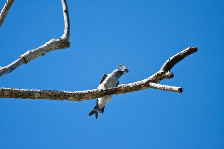 ashy: A Ashy Woodswallow hunt dragonfly on the branch with blue sky