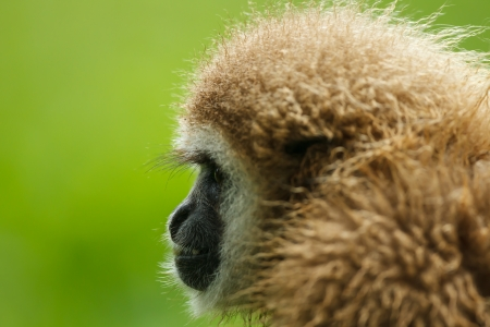 gibbon: side view of a White-handed Gibbon Stock Photo