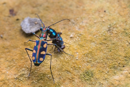 tiger beetle: Tiger coleottero mangia una mosca sul terreno