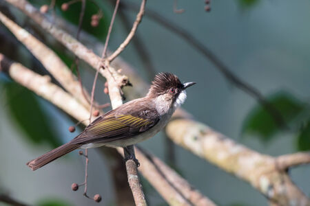 ashy: Ashy Bulbul in the forest of Thailand Stock Photo