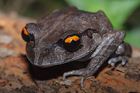 weerzinwekkend: Een close up van Smith's nest kikker op het rotte hout in de nacht Stockfoto