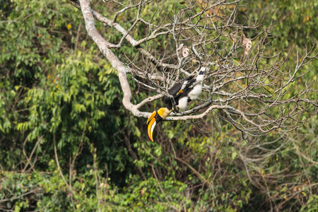 largest tree: A close up of a male Great Hornbill on the tree in the forest
