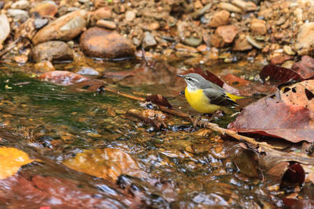 wagtail: A close up of a Gray wagtail standing in the stream in Thailand