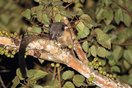 civet cat: A Three-striped Palm Civet eating common fig