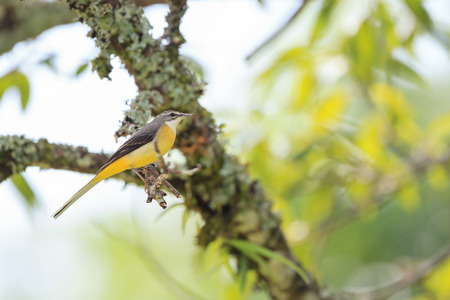 songster: Grey Wagrail perched on a branch in nature Stock Photo