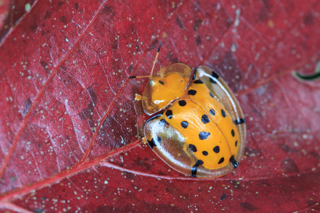 Macro shot of a black spotted tortoise beetle on a red leaf