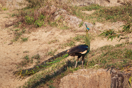 peafowl: A male Green Peafowl (Peacock) in nature Stock Photo