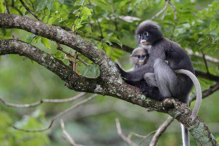 dusky: Dusky leaf monkey and young dusky leaf monkey