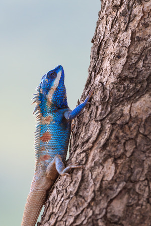 dragon vertical: Close up of Blue Lizard perching on the tree