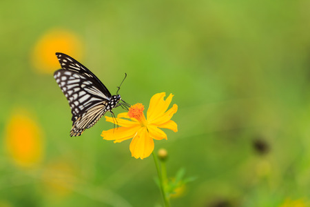 sunshine background: Butterfly,Common Mime (Chilasa clytia)
