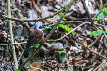 laughingthrush: White-crested laughingthrush  taking a bath in the forest Stock Photo