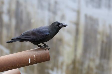 sneaky: Large-billed Crow (Corvus macrorhynchos) in the city Stock Photo