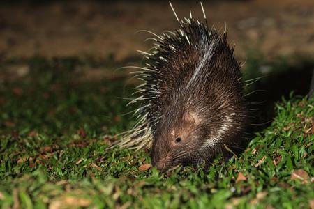 brush tailed: Malayan porcupine(Hystrix brachyura) in nature at night
