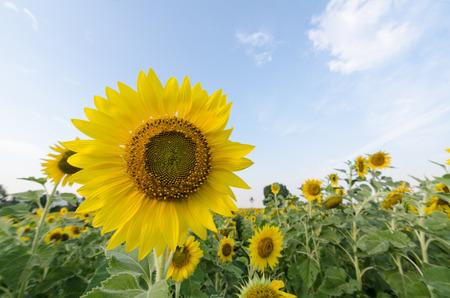 bluesky: sunflower and bluesky