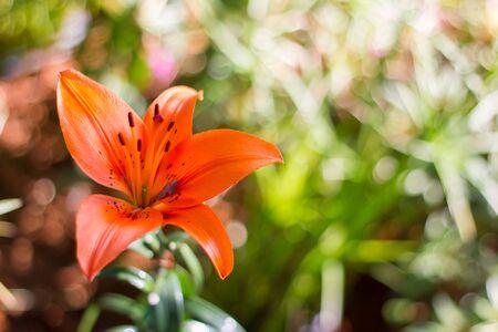 oranje lelie: lelie bloemen veld oranje Stockfoto