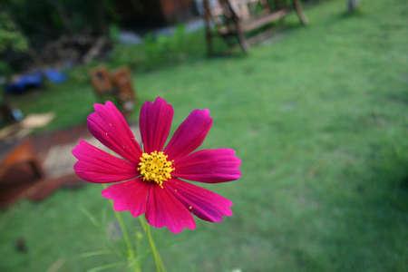 cosmos flower: Pink Cosmos Flower