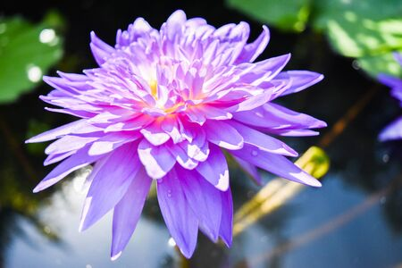 murky: This exquisite purple lotus flower grows naturally in murky water. The Lotus flower is associated with purity and beauty.