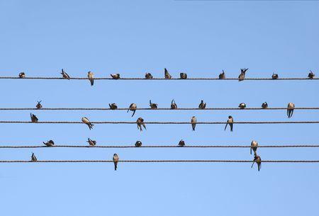 Swallow posarono su cavi elettrici Archivio Fotografico