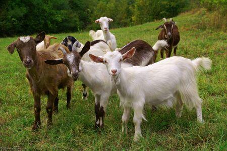 capre: Allevamento di capre sul prato mountan