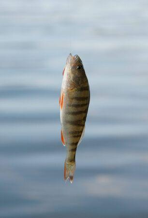 perca: Perch fish caught on the bait Stock Photo