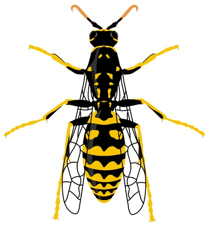 hymenoptera: illustration of wasp over white background