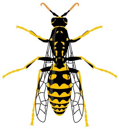 avispa: Ilustración de avispa sobre fondo blanco